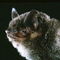 cute little vesper bat face